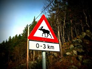 Se opp for elg!